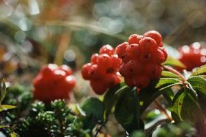 Pyracantha Heesters