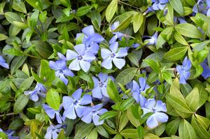Hoe maak je een Creeping Myrtle of Vinca Minor Plant